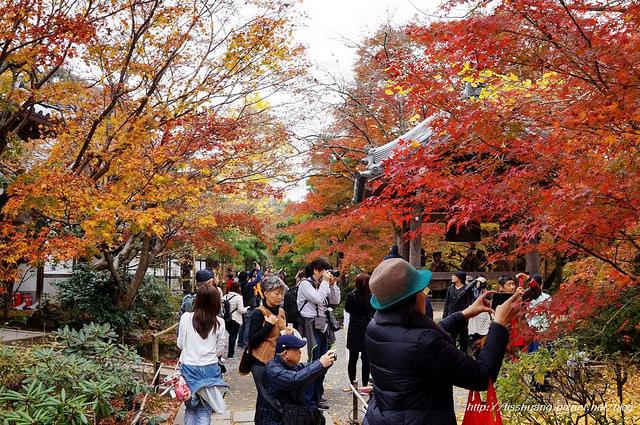 日本楓葉60