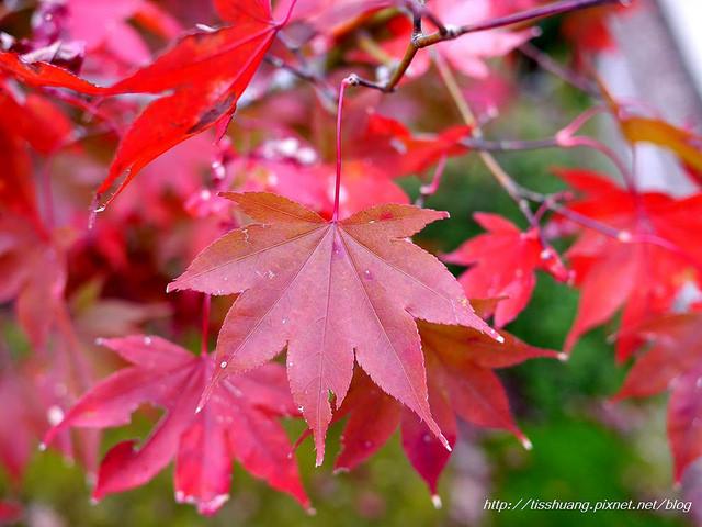 日本楓葉101