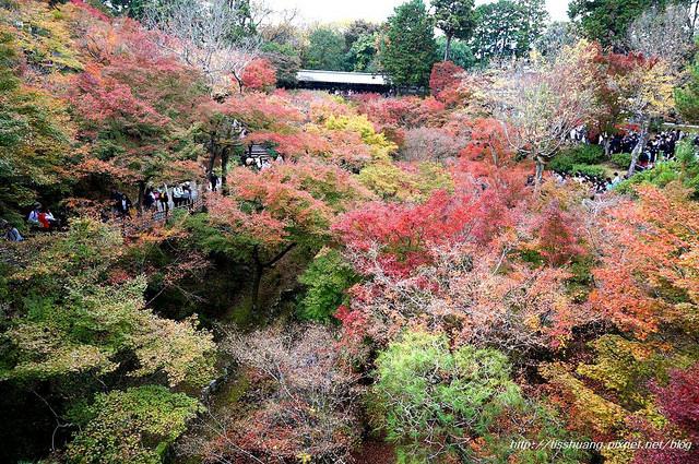 日本楓葉36