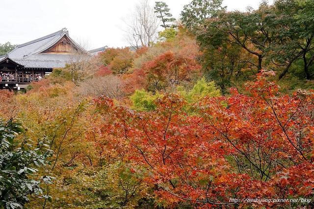 日本楓葉13