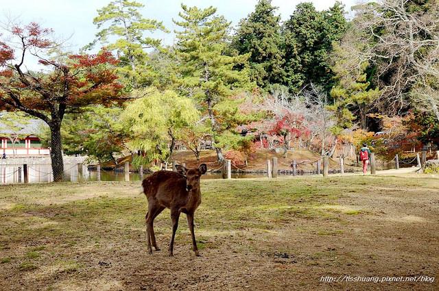 日本楓葉10