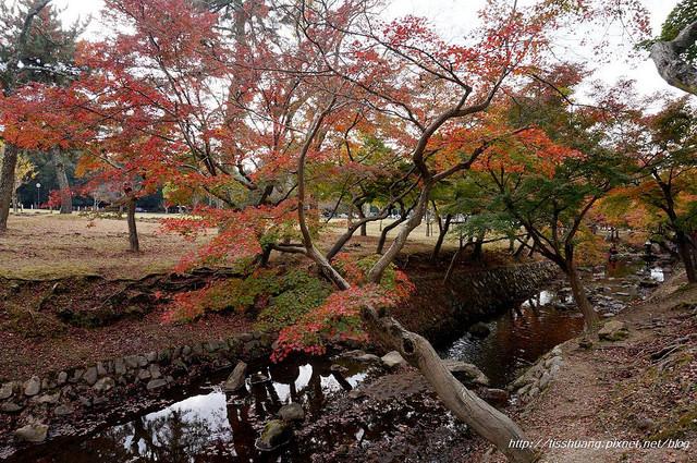 日本楓葉7