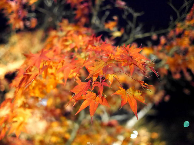 日本楓葉108